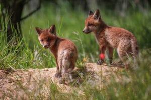 2 junge Füchse